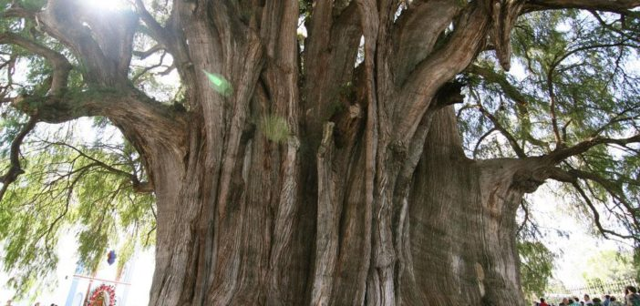 The Most Beautiful And Famous Trees On Earth