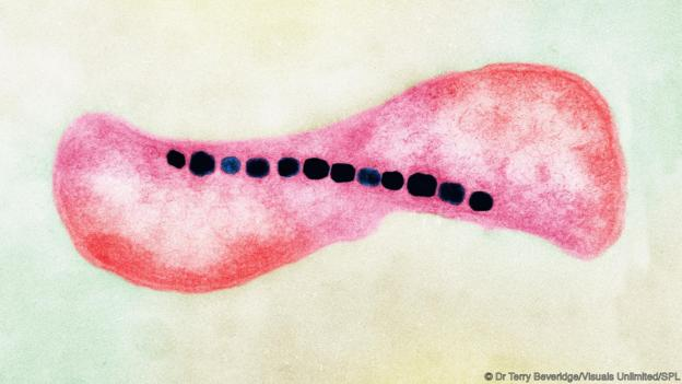 A Magnetospirillum bacterium (Credit: Dr Terry Beveridge/Visuals Unlimited/SPL)