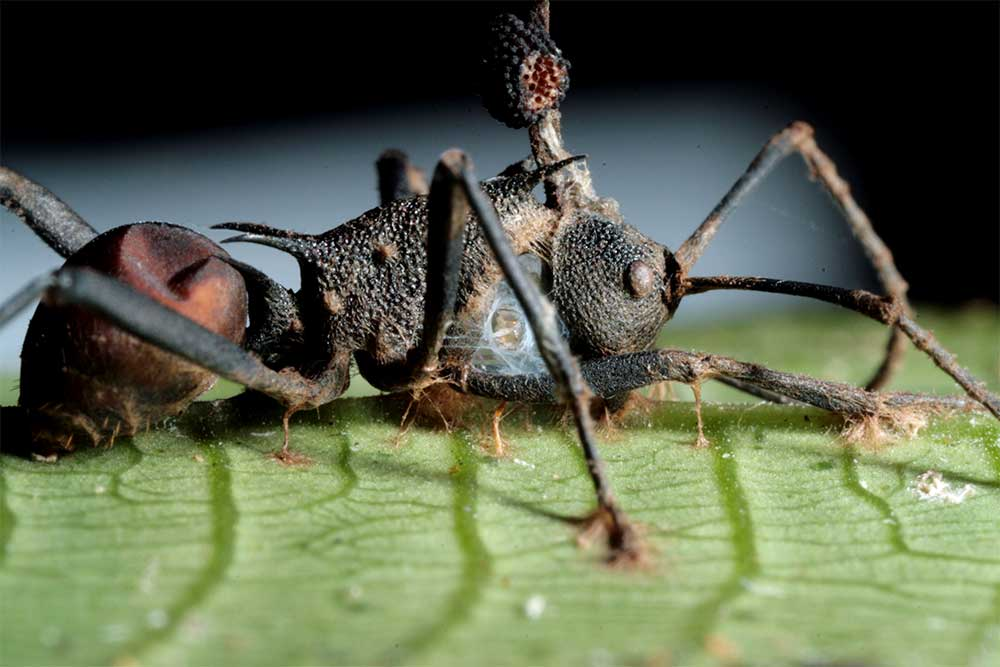 The Fungus That Turns Ants into Zombies